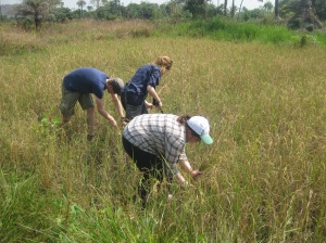 Julia and the other Gappers harvesting rice in Sierra Leone