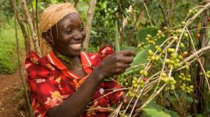 A Fairtrade coffee farmer tends to her crops