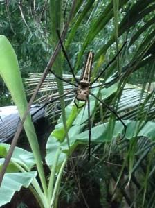 Golden-orbed weaver spider