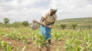 Kenya, Naomi tends to her crops